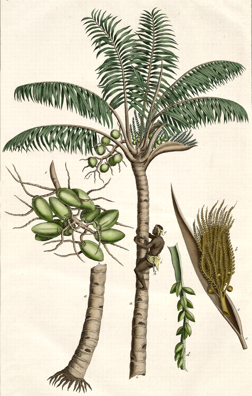 Motley cyanide. Caring for a tropical plant