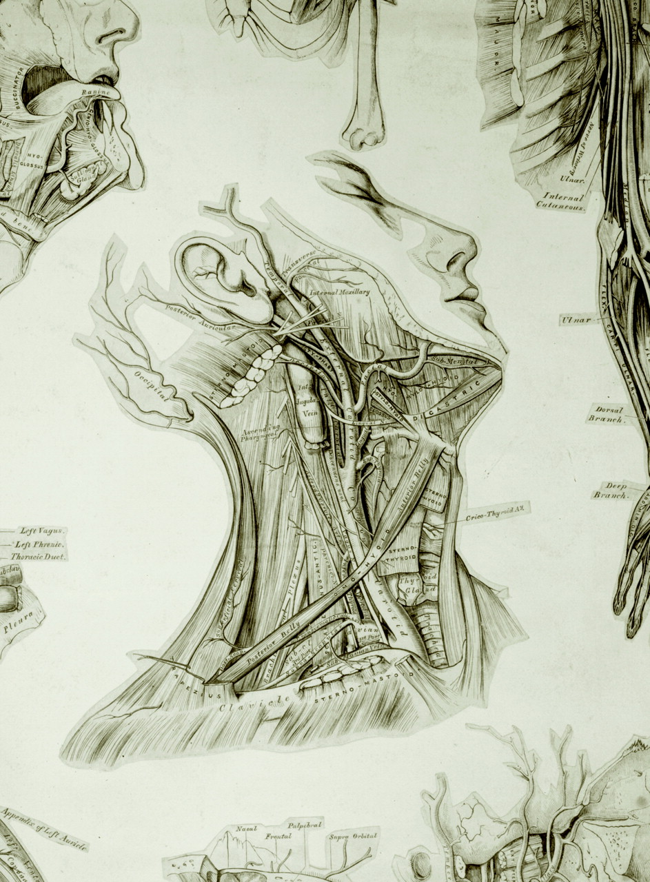 Exhibition hopes to give Gray\'s Anatomy artist his proper due | The BMJ