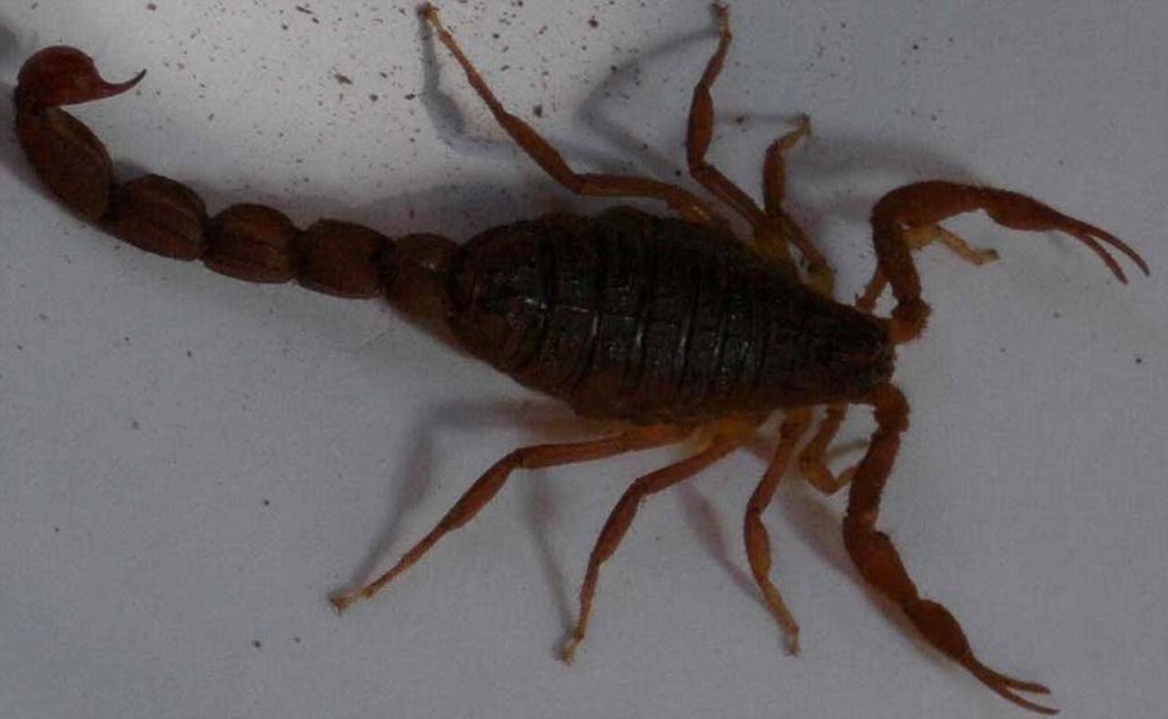 Efficacy and safety of scorpion antivenom plus prazosin ... - photo#7