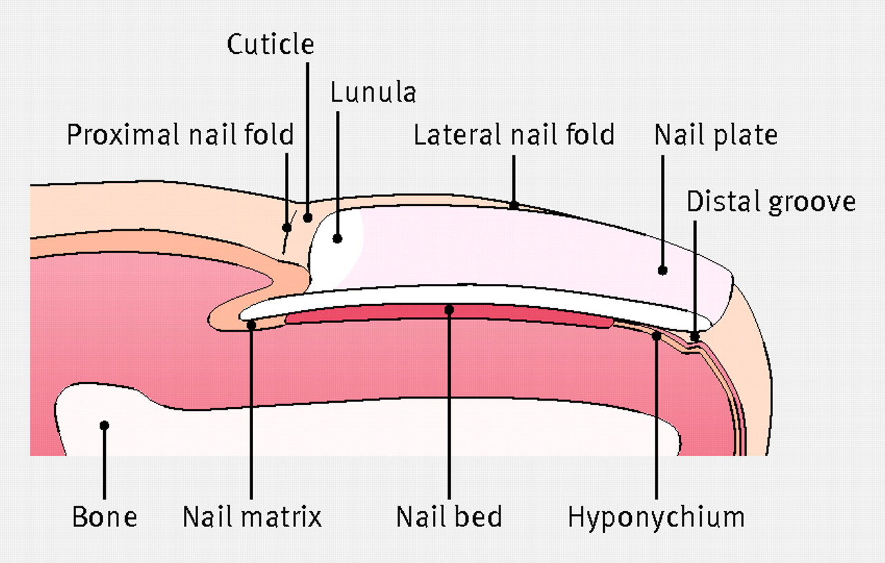 The management of ingrowing toenails | The BMJ