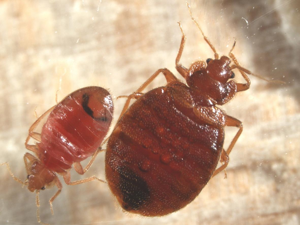 How To Recognise Bed Bugs