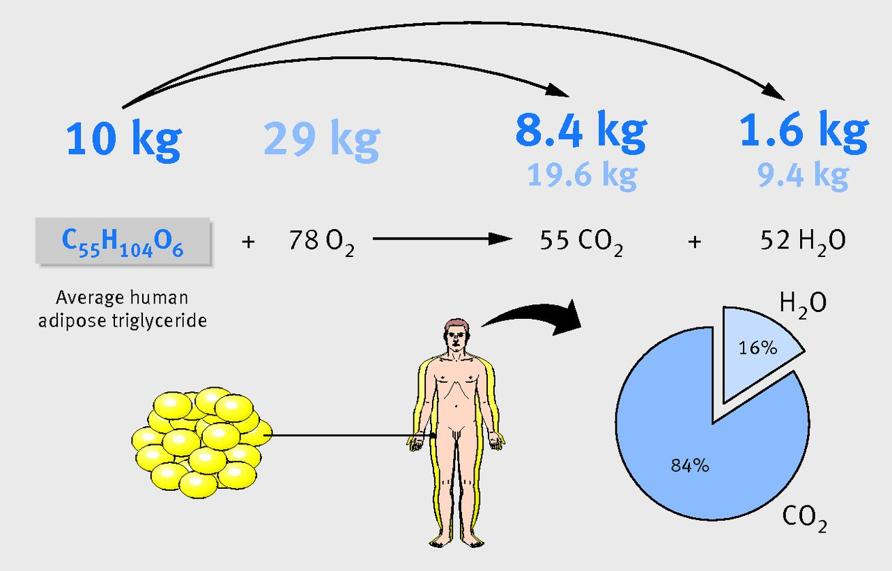 When Somebody Loses Weight Where Does The Fat Go Bmj Inhalation And Exhalation Diagram Below Is A Of These Figure2