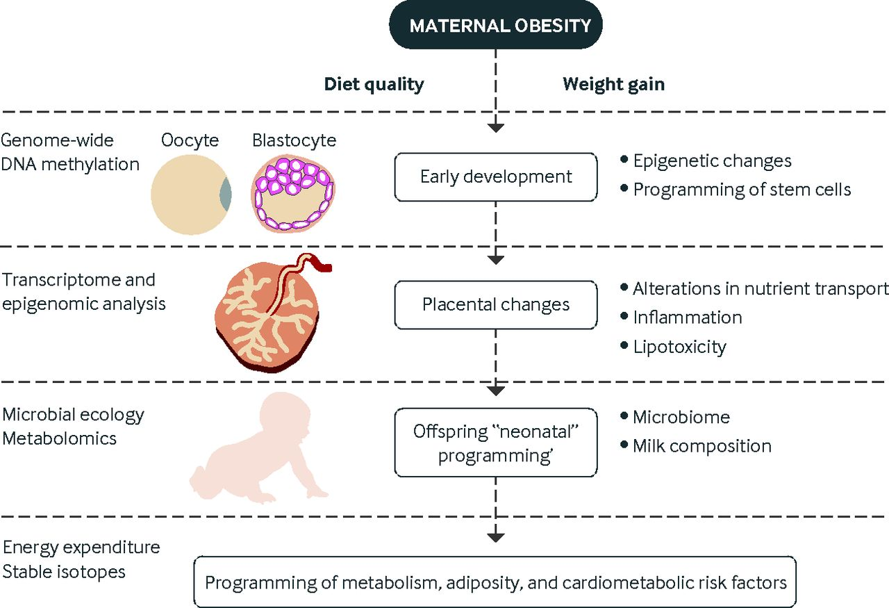 Obesity and pregnancy: mechanisms of short term and long term