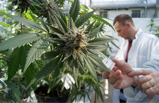 Medical cannabis: no NHS patients have benefited from law