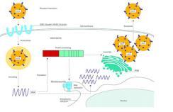 Life cycle of hepatitis C virus