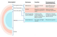 The components of the adrenal gland and consequences of excess hormone production