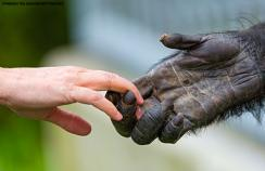 An ape and a human holding hands
